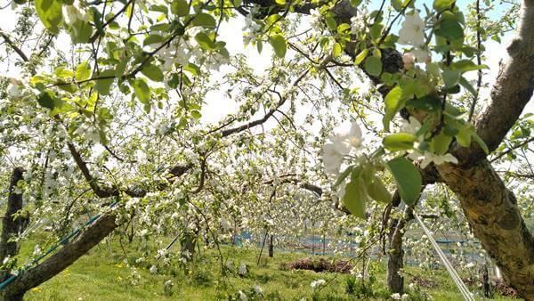 りんごの花の見頃(満開5月5日)