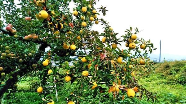 黄色いりんご(シナノゴールド)