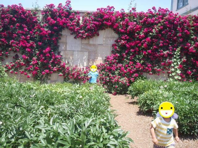 中野市バラ祭りハートのバラ