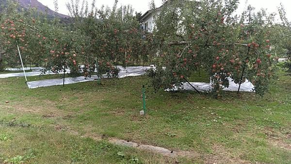 りんご畑に敷かれたシルバー