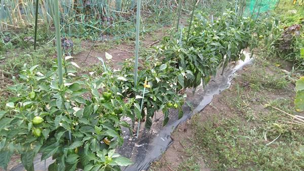 田舎暮らしの家庭菜園